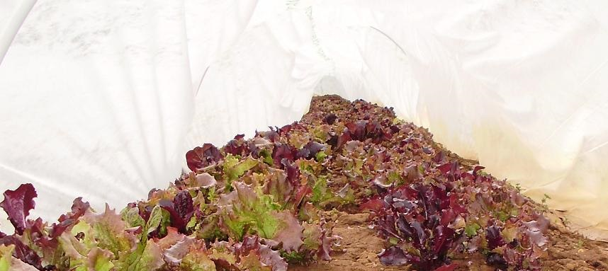 red lettuce inside tunnel